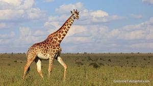 Hamile Bir Zürafa